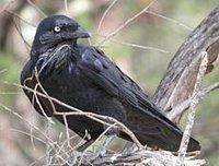 200px-Little_Raven