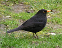 250px-Blackbird