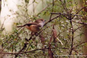 brown_thornbill