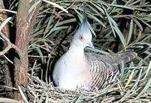 crested_pigeon_seyfort