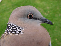 spoted_dove